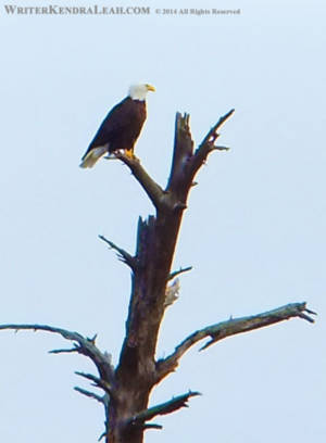 Bald Eagle Perch - Namakan Lake, Voyageurs National Park