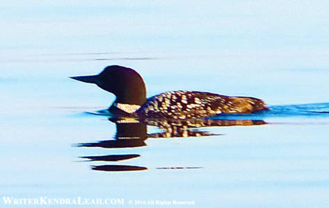 Common Loon on Kabetogama Lake, Voyageurs National Park