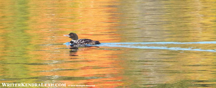 Common Loon - Lost Lake, Voyageurs National Park