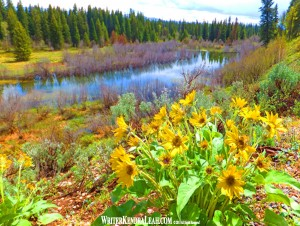 Arrowleaf Balsamroot, Grand Teton National Park